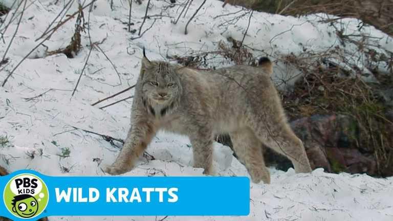 WILD KRATTS | Wintertime Creature Powers | PBS KIDS