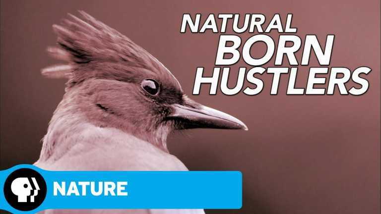 NATURE   Natural Born Hustlers   Episode 1   Preview   PBS