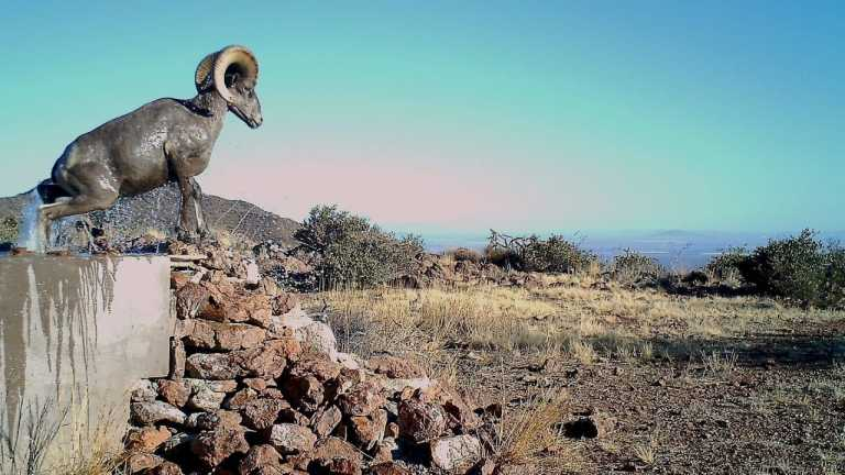 Bighorn Sheep Conservation in Arizona