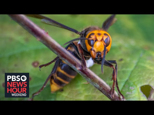 How officials in Washington state are attempting to eradicate the 'Murder Hornet' before it spreads