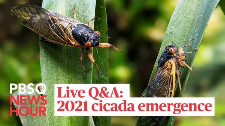 Live Q&A: 2021 Cicada emergence