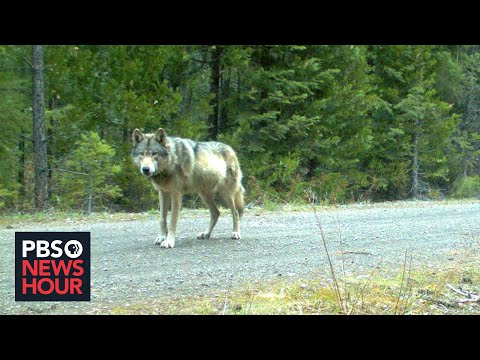Idaho ranchers torn between hunting and deterrents for gray wolves harming their livestock