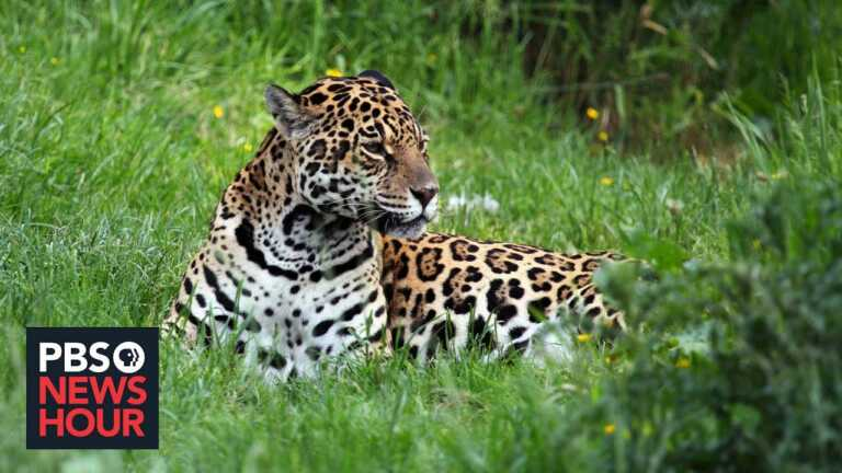 Group aims to reintroduce Jaguars — once nearly hunted to extinction — to Argentina